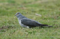 A stunning Cuckoo Cuculus canorus searching on the ground in a meadow for food. A beautiful Cuckoo Cuculus canorus searching on the ground in a meadow for food stock photography