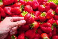 Beautiful cultivated deep red delicious strawberries, macro photography, fruit. Plenty royalty free stock photos