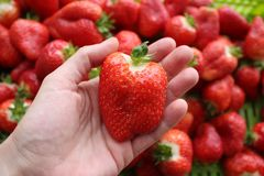 Beautiful cultivated deep red delicious strawberries, macro photography, fruit. Plenty royalty free stock image