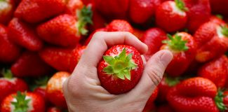 Beautiful cultivated deep red delicious strawberries, macro photography, fruit. Plenty stock photo