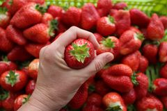 Beautiful cultivated deep red delicious strawberries, macro photography, fruit. Plenty stock image