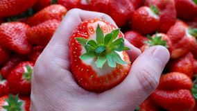 Beautiful cultivated deep red strawberries, macro photography, food and fruit. Delicious stock image