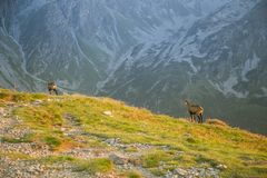 A beautiful, curious wild chamois grazing on the slopes of Tatra mountains. Wild animal in mountain landscape. royalty free stock photos