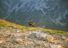 A beautiful, curious wild chamois grazing on the slopes of Tatra mountains. Wild animal in mountain landscape. stock images
