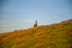 A beautiful, curious wild chamois grazing on the slopes of Tatra mountains. Wild animal in mountain landscape. stock photography