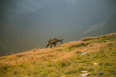 A beautiful, curious wild chamois grazing on the slopes of Tatra mountains. Wild animal in mountain landscape. royalty free stock photography