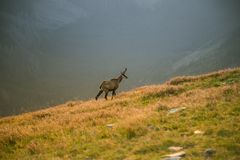 A beautiful, curious wild chamois grazing on the slopes of Tatra mountains. Wild animal in mountain landscape. royalty free stock image
