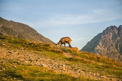 A beautiful, curious wild chamois grazing on the slopes of Tatra mountains. Wild animal in mountain landscape. stock photos