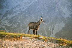 A beautiful, curious wild chamois grazing on the slopes of Tatra mountains. Wild animal in mountain landscape. royalty free stock photo