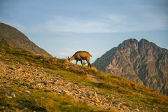 A beautiful, curious wild chamois grazing on the slopes of Tatra mountains. Wild animal in mountain landscape. stock photo