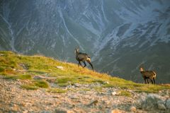 A beautiful, curious wild chamois grazing on the slopes of Tatra mountains. Wild animal in mountain landscape. royalty free stock images