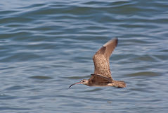 Beautiful Curlew Flying over a Blue Ocean Royalty Free Stock Images