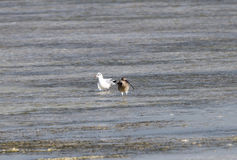 Beautiful curlew and a seagull in low tide Stock Image