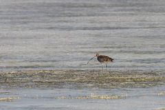 Beautiful curlew searching food in the sea bed Stock Photos
