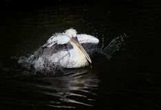Beautiful curly white Pelican floating on the dark lake and spla Stock Photos