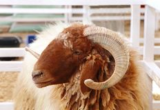 Beautiful curve horn of Awassi sheep Stock Image