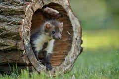 Beautiful cute beech marten, forest animal, Martes foina. Stock Photo