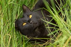 Beautiful cute black bombay cat portrait with yellow eyes in green grass closeup Royalty Free Stock Images