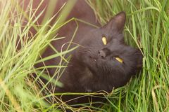 Beautiful cute black bombay cat portrait with yellow eyes in green grass Royalty Free Stock Photography