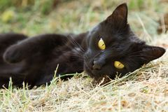 Beautiful cute black bombay cat with yellow eyes lies outdoors. Portrait closeup. Beautiful cute black bombay cat with yellow eyes lies outdoors in nature royalty free stock photos