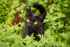 Beautiful cute black cat portrait with yellow eyes and attentive look in green grass and flowers in nature closeup. Beautiful cute bombay black cat portrait with royalty free stock photo