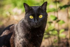 Beautiful cute black cat portrait with yellow eyes and long mustache in nature. Beautiful cute black cat portrait with yellow eyes in green grass in nature in stock photo