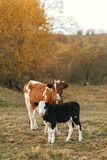 Beautiful cute black and white calf standing near brown cow and looking on background of autumn trees and field. Mother cow with. Baby cow grazing near trees royalty free stock photography