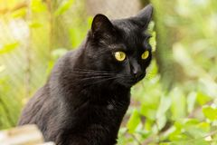 Beautiful cute bombay black cat with yellow eyes and attentive look close-up in nature. Spring, summer stock images