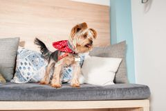 Beautiful and cute brown dog little Yorkshire Terrier puppy climbing on the pillows of the sofa.  stock photo