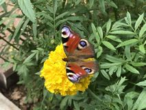 Cute nice butterfly on the yellow flower royalty free stock photo