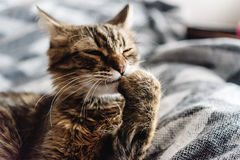 Beautiful cute cat licking his paw on stylish bed with funny emo Stock Photos