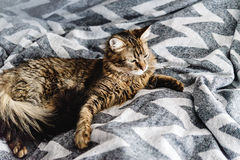 Beautiful cute cat lying on stylish bedside with funny emotions Stock Photography
