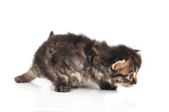 Beautiful cute 20 days old kitten hunting Stock Photos
