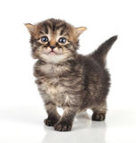 Beautiful cute 20 days old kitten. Beautiful cute 20 days old small kitten standing royalty free stock photography