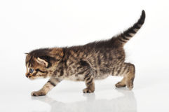 Beautiful cute 20 days old kitten walking along Stock Image