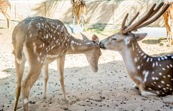 Beautiful and cute deer mother with her baby deer - Deer mother cleaning her child.  royalty free stock photos