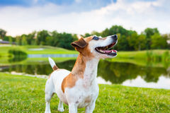 beautiful and cute fun Jack Russell terrier dog on nature background. Stock Photography
