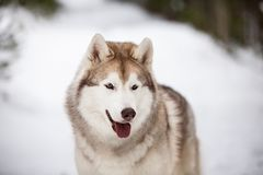Beautiful, cute and happy Siberian Husky dog standing on the snow path in the winter forest. Close-up Portrait of beautiful, cute and happy Siberian Husky dog stock image