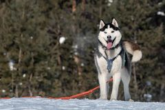 Beautiful cute husky smiling portrait with forest in winter stock photography