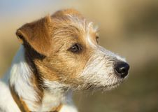 Beautiful cute jack russell pet dog head. Close-up head of a beautiful cute jack russell pet dog puppy stock photo