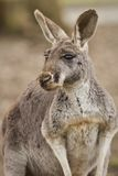 Beautiful and cute kangaroo in the dry habitat Stock Photography