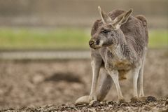 Beautiful and cute kangaroo in the dry habitat. Australian fauna, strange animals in australia, another world Royalty Free Stock Photography