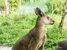 Beautiful and cute kangaroo in the park Stock Image