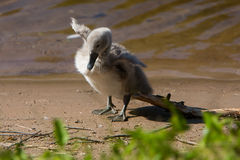 Beautiful cute little swan royalty free stock photography
