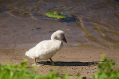 Beautiful cute little swan royalty free stock images