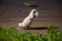 Beautiful cute little swan royalty free stock photo