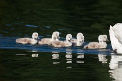 Beautiful cute little of a swan Royalty Free Stock Photography