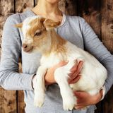 Beautiful baby goat in womans hands, close up. Farm lifestyle, rustic scene, wooden background stock image