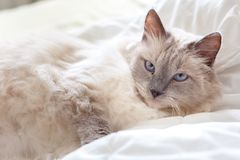 Beautiful cute Ragdoll cat with beautiful light blue eyes, looking directly at the camera. And laying in a white bed sheet stock photography