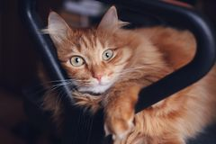 Beautiful cute red fluffy cat lies in office chair, pets and fur royalty free stock photography